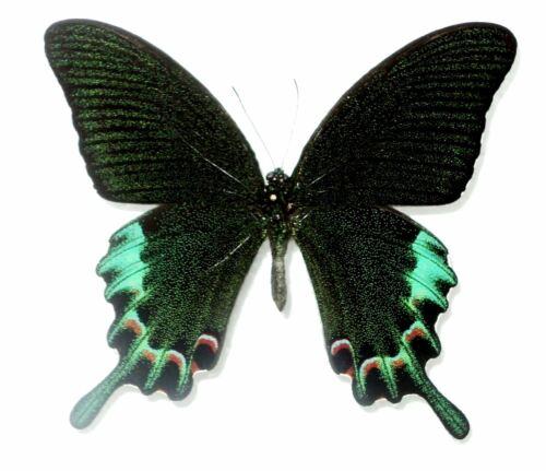 Achillides species....male....Philippines...VERY RARE!