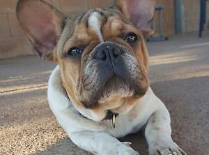 Pedigree french bulldog blue and choc carrier Mount Isa Mt Isa City Preview