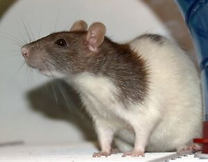 Looking for Female Rat