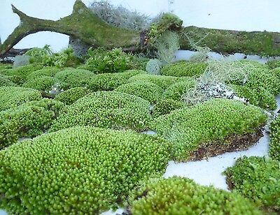 GALLON BAG STAR MOSS Terrarium Gecko BONSAI Garden Dart Frog Live Plant VIVARIUM