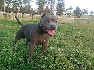 English Staffordshire -Staffy Pups Pure Bred Penrith Penrith Area Preview