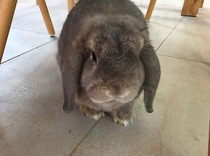 GORGEOUS OPAL MINI LOP PURE BREED, VACCINATED, DESEXED, V SWEET ! Coogee Eastern Suburbs Preview