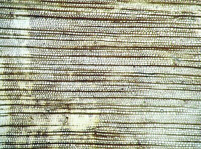 Devonian Callixylon oldest known wood growth ring THIN SECTION Oklahoma (s)