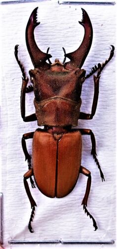 Rare Golden Stag Beetle Cyclommatus dehaani Male 30mm FAST FROM USA