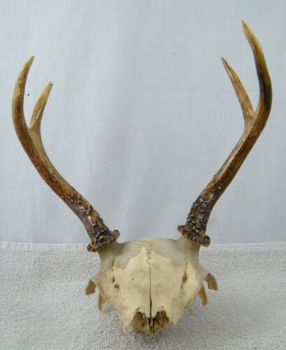 """4 POINT ANTLERS WITH SKULL 9"""" X 10"""""""