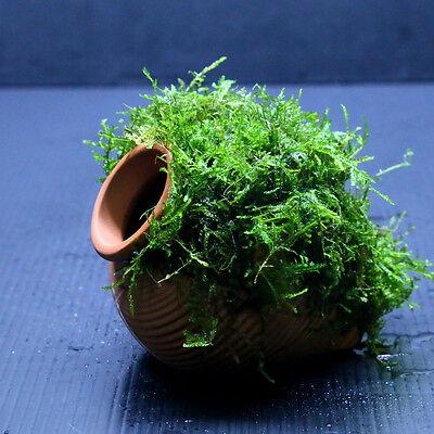 Java Moss + Ceramicjar(S) - Aquarium Ornament Live aquaric plant fish tank