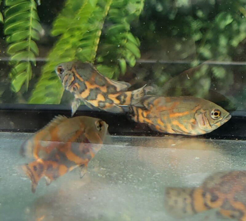 """Tiger Oscar- Small 1-2""""- Astronotus ocellatus"""