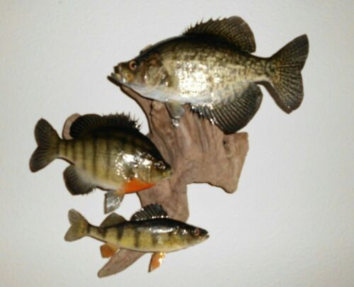Beautiful Bluegill ~ Crappie & Yellow Perch Taxidermy Mounted on Driftwood