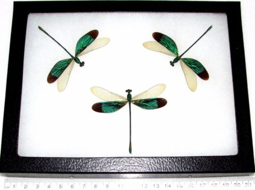 REAL FRAMED GREEN DRAGONFLY TRIO NEUROBASIS CHINENSIS INDONESIA