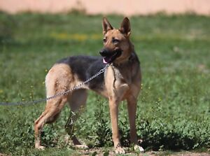 FC Training And Rehabilitation Rescue Dogs Available