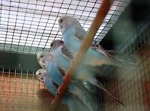 7 English baby budgies for sale South Launceston Launceston Area Preview