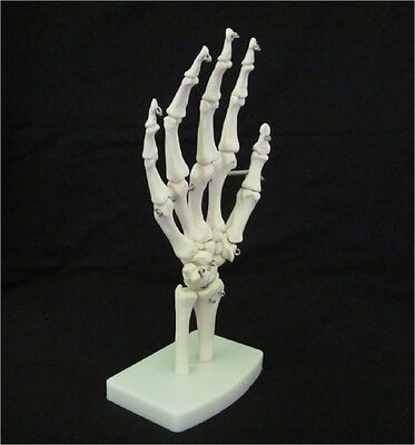 1ST QUALITY LIFE SIZE HUMAN SKELETON HAND JOINT ANATOMICAL ANATOMY STUDY MODEL