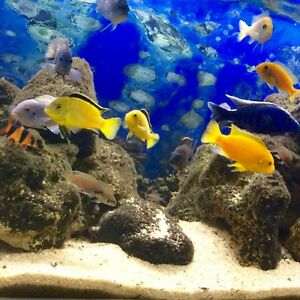 Malawi cichlid Hilton West Torrens Area Preview