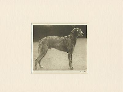 DEERHOUND ORIGINAL VINTAGE 1931 DOG PRINT MOUNTED READY TO FRAME