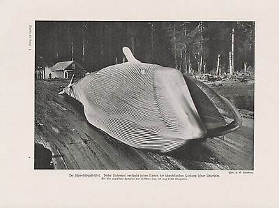 Riesenwal Blauwal Balaenoptera musculus Wal Wale DRUCK von 1912 Blue whale