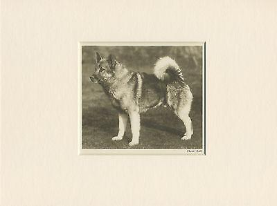 ELKHOUND ORIGINAL VINTAGE 1931 DOG PRINT MOUNTED READY TO FRAME