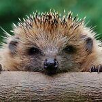 hedgehogcrafts2014
