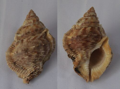 Seashells Bufonaria margaritula FROG SHELLS BURSA 55mm F+++/GEM Marine Specimen