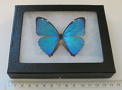REAL BLUE PERUVIAN MORPHO AEGA FRAMED BUTTERFLY INSECT