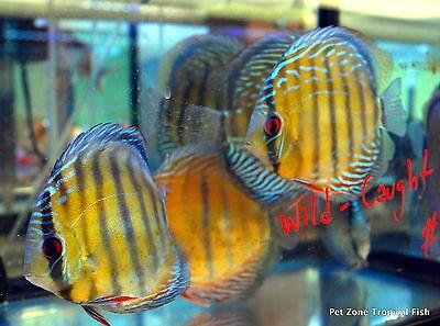 Wild Discus - Beautiful Live Freshwater Tropical Fish, Rare Discus Tropical Fish