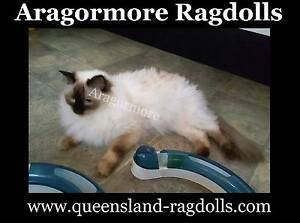 Ragdoll Cat Adults Male and Female Pedigree Papered Purebred Browns Plains Logan Area Preview