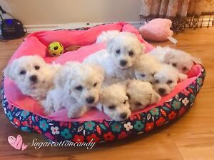 Update photos & Christmas special price - Bichon Frise puppies
