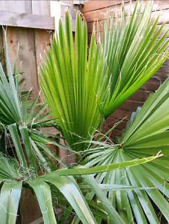 EXOTIC STUNNING FEATURE FAN PALM- SUPERBLY HEALTHY & LUSH /POTTED
