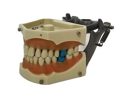Vintage Columbia Dentoform Typodont Model R861- R862 Fits Columbia Teeth 860