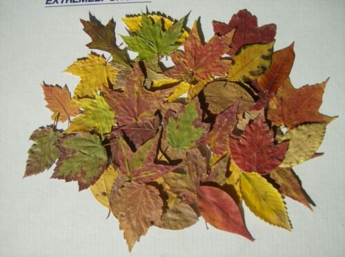 50 Dried Pressed Fall Leaves/crafts/weddings/DYI/Scrapbooking