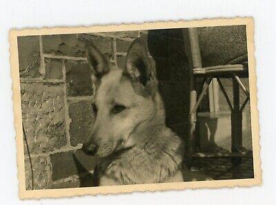 Photo snapshot vers 1960  dog / chien un berger allemand