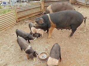6 Wessex Saddleback X Weaners for sale Beechmont Ipswich South Preview