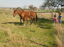 Horses for sale Thoroughbred mares Allora Southern Downs Preview