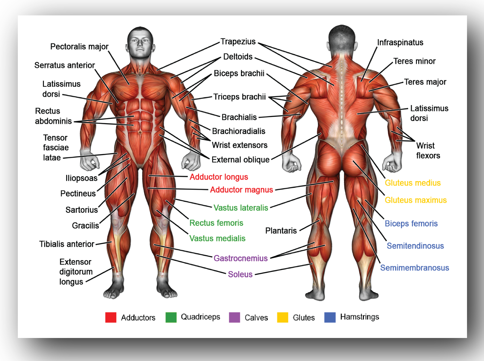 The Human Musculature Science Educational Diagram Poster *LAMINATE* A5 A4 A3