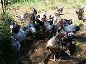 Roosters for sale Wallaroo Gungahlin Area Preview