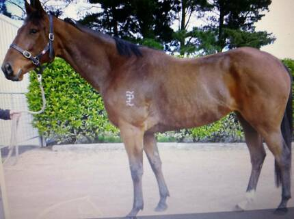Thoroughbred mare Lochinvar Maitland Area Preview