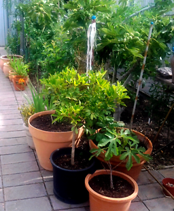 Fruit trees &  garden  plants Clearview Port Adelaide Area Preview
