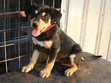 Purebred Kelpie Pups Goondiwindi Goondiwindi Area Preview