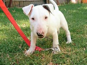 Pure-bred English Bull Terrier Lochiel Wakefield Area Preview