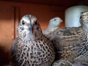 Trio of Japanese coturnix quail Waikiki Rockingham Area Preview