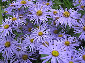 Aster frikartii 'Monch' - 1 PLANT - FREE P/P WHEN YOU BUY 3+ ITEMS