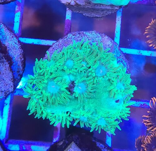 Live Coral Robbie's Corals Ultra Green Pagoda Cup Coral Frag