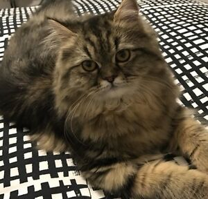 Persian Himalayan female 6 month olds