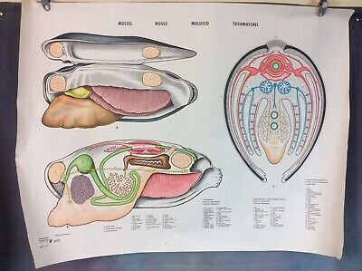 VINTAGE SCHOOL BIOLOGY POSTER THE MUSSEL, 1960s/70s FREE UK DELIVERY