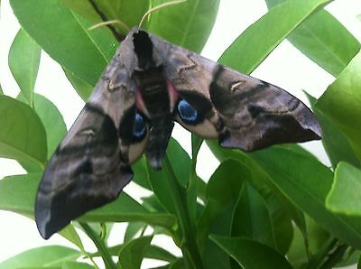 Eyed Hawkmoth (Smerinthus Ocellata ) 15 Eggs Live insects
