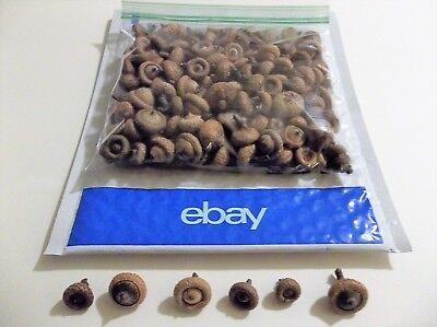 """200 Dried """"Miniature Acorns"""" Mini Michigan Oak Tree Art-Craft Fall Project Lot"""