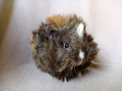 Baby Long Haired Guinea Pigs
