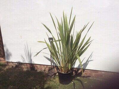 PHORMIUM TENAX VARIEGATUM / New Zealand Flax
