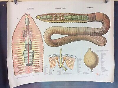 VINTAGE SCHOOL BIOLOGY POSTER THE EARTHWORM, 1960s/70s FREE UK DELIVERY