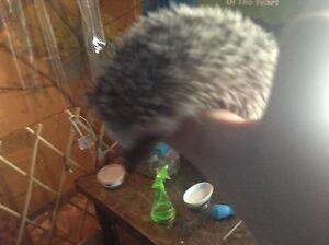 Hedgehog babies  London Ontario image 3