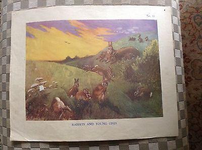 Vintage Macmillan School Poster Rabbits And Baby Rabbits 1950's